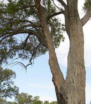 A jarrah tree in Western Australia