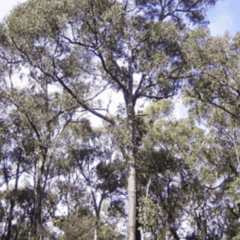 An image of west Australian Black Butt