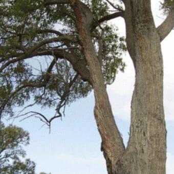 An image of a West Australian Jarrah Tree