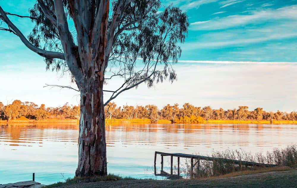 Red river gum tree on the riverbank